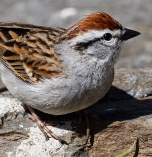 Chipping sparrows feature a bright, rusty crown, a thick white line above the eye, a crisp black line through the eye, an un-streaked gray breast and brown streaked back.