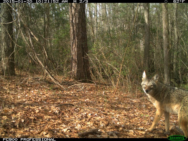 This is one of several photographs of coyotes taken along the Northeast Cape Fear River by the N.C. Coastal Federation. Using a grant to document wildlife diversity, it placed 24 high-end professional wildlife cameras along a 12 mile stretch of the river.