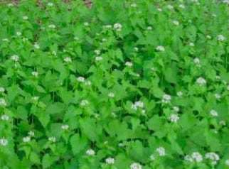 The Natural Resources Division and the Concord Land Conservation Trust will resume a garlic mustard pull in May.
