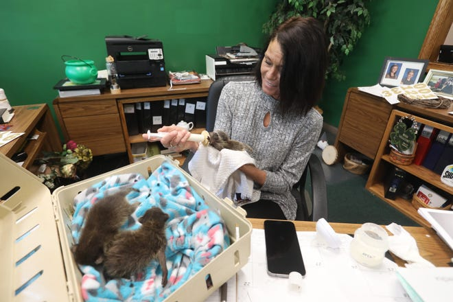 Angie Pyle feeds a trio of orphaned baby raccoons in her office in downtown Coshocton. Pyle and her husband Shane rehabilitate wild animals.