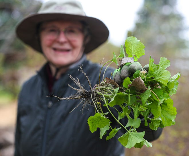 Fond du Lac County Audubon Society president Diana Beck of Fond du Lac shows the roots system of the invasive garlic mustard plant as members of the group work to eliminate the invasive plant growing along the Peebles Trail.