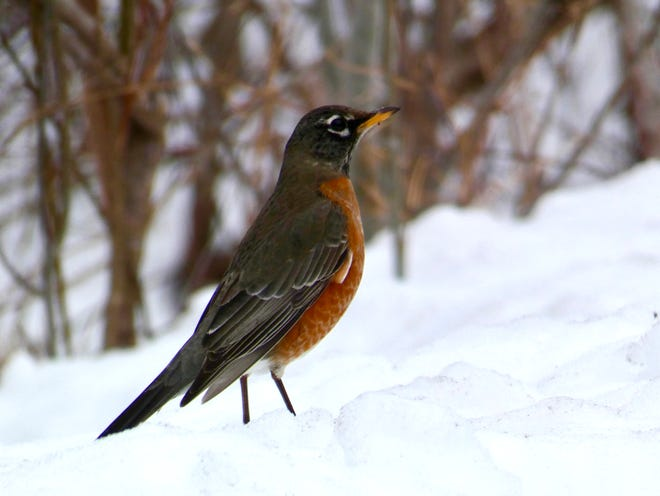 A robin seen along the Ozaukee Interurban Trail.