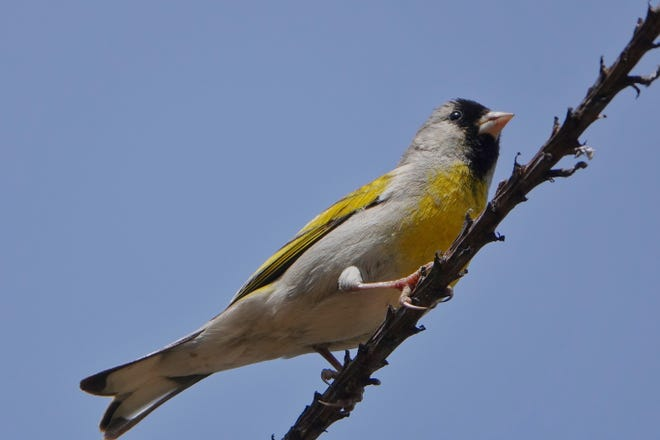 Look for the black-masked Lawrence's goldfinch in the oak-scattered fields of wildflowers east of Redding.