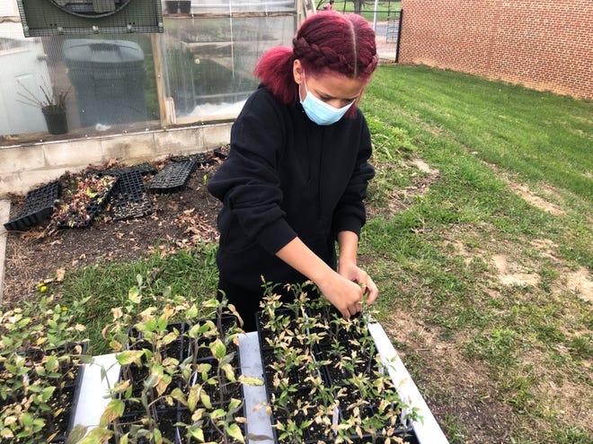Michaela White, 13, works with plants outside the greenhouse at Shelburne Middle School.