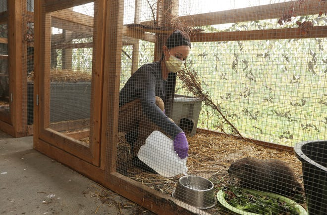 Elisabeth Hartman pours some water for a woodchuck at her wildlife rehabilitation facility near Zanesville. Hartman runs Wild at Hart Wildlife Rehabilitation.