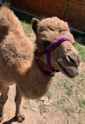 The lifespan of a camel such as Daisy is roughly 40 years. Daisy could grow to a height of 6-foot-2 inches tall when she reaches adulthood.