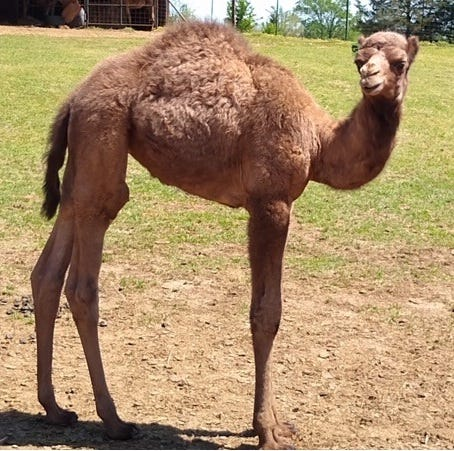 Daisy, who was born Feb. 16, is a female dromedary, or one-humped camel. She comes to the Amarillo Zoo from the Metroplex and is on exhibit for the public.