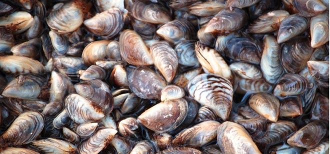 Zebra mussels have been detected at Lake Brownwood. This photo is from the website https://lakes.grace.edu/