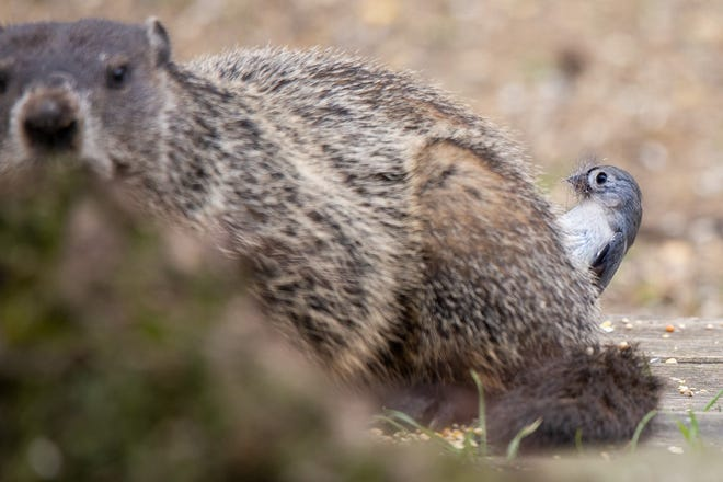A tufted titmouse plucks fur from the back of a groundhog at the Peoria home of Julie Dodge. The bird at first irritated the chubby rodent after pulling fur from its tail.