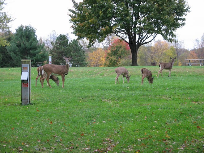 Deer often visit the Silver Springs Campground in Stow.