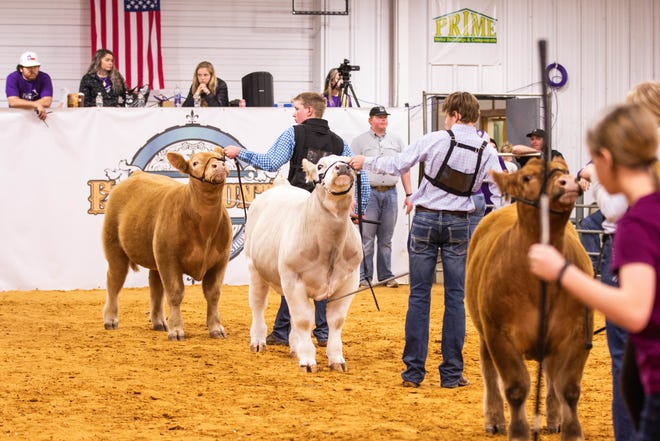 Participants line up their animals for the judges during Saturday's 2021 Pursuit of Purple Prospect Steer Show at the Erath County Livestock Association grounds.