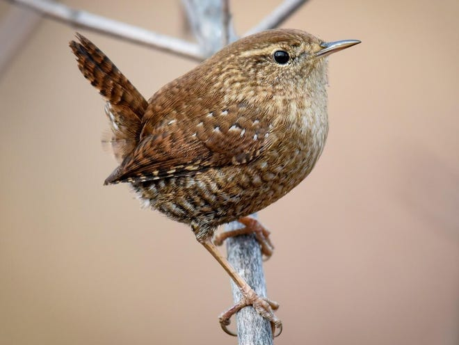 Winter wrens are tiny brown birds with dark barring on their wings, & tails. They have a light stripe just above their eyes and their throats are lighter.