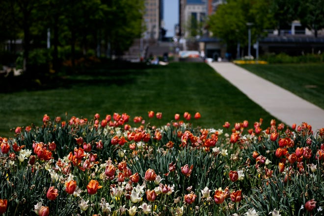 Spring tulips bloom at Smale Park on the Ohio Riverfront in downtown Cincinnati on Tuesday, April 27, 2021.