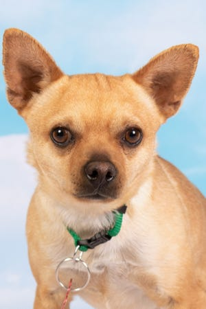 If you're interested in My Friend Ben, please go to azfriends.org to fill out a consultation form and then head to the adoption center at 952 W. Melody Ave. in Gilbert.