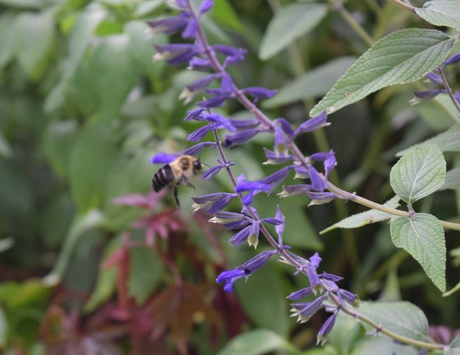 The spikes of perennial salvia are attractive to bees.