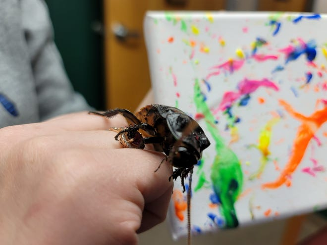 """Picasso, a Madagascar Hissing Cockroach at Sternberg Museum, """"paints"""" art for the Hays Art Walk on May 1s. The animal art can be found at Indigo by jasmine."""