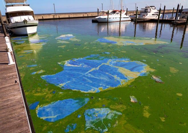 Thick blue-green algae in the Pahokee Marina on Lake Okeechobee, April 28.