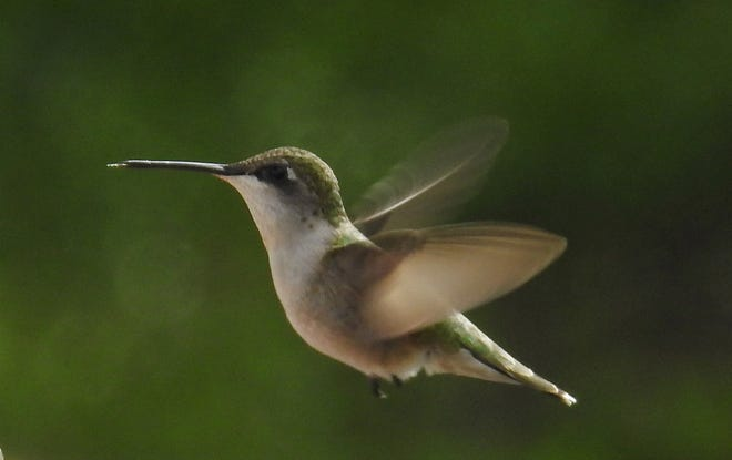 A busy hummingbird flits by a backyard garden in Scituate.