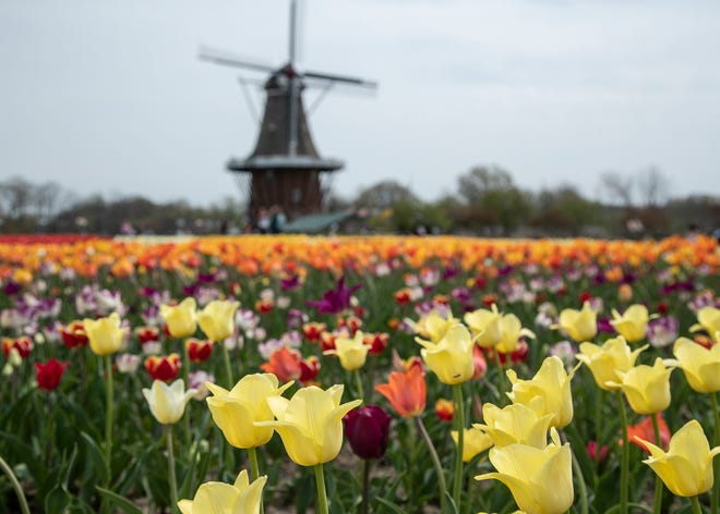 Colorful tulips in bloom at the Windmill Island Gardens in Holland on Tuesday, April 27, 2021.