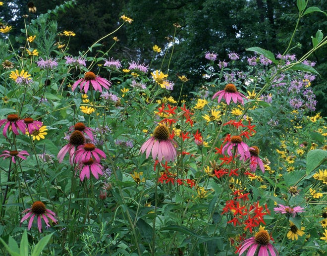 Purple cone, wild bergamot, royal catchfly, false sunflower are some of the native plants in Missouri.