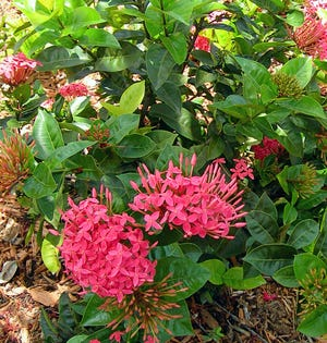 Ixora species are available in several sizes. The large-leaf varieties like 'Nora Grant' with pink-red blossoms grow from 8–12 feet tall and are suitable for tall hedges, plant borders and specimen planting. Unfortunately, these large-leaf varieties are the most common choice for small hedges and foundation plantings. After a few years of constant pruning to keep them small, they thin out, decline, and look ugly.