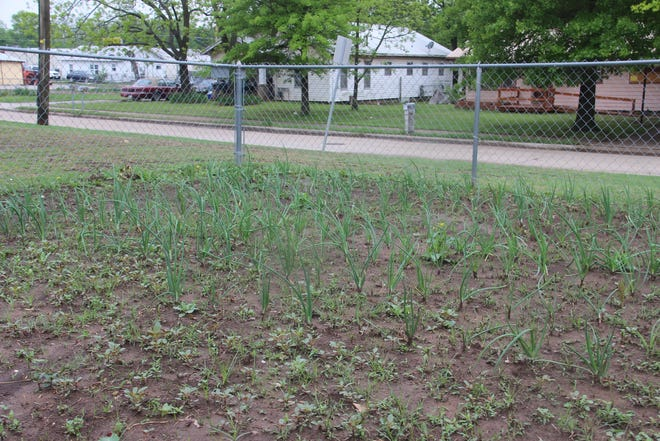 Rows of onions are sprouting in one of the plots at the Ardmore Community Garden.