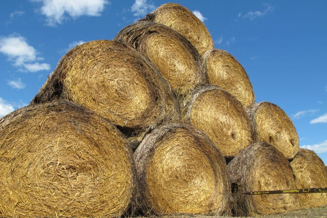 In this Tuesday, Aug. 22, 2017 photo, stacks of hay donated to help farmers and ranchers affected by drought point skyward at a collection site on the campus of North Dakota State University in Fargo, N.D. The North Dakota Agriculture Department says it has received more than 900 applications for hay from producers in North Dakota, South Dakota and Montana. About 82 percent of North Dakota, 76 percent of South Dakota and 70 percent of Montana are in some stage of drought, according to the U.S. Drought Monitor.
