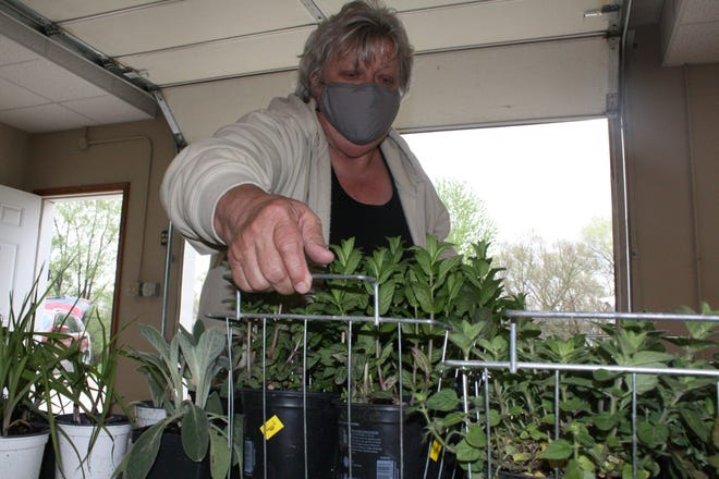 Linda Jones, a 16-year Master Gardener, carries oregano plants to a table Thursday as she prepares for Saturday's Des Moines County Master Gardener Sale at the Des Moines County Iowa State University Extension and Outreach Office, 1700 W. Mount Pleasant St. Shoppers will find at least 1,000 house and garden plants, and organizers are anticipating some of the latest trends in plant-buying.