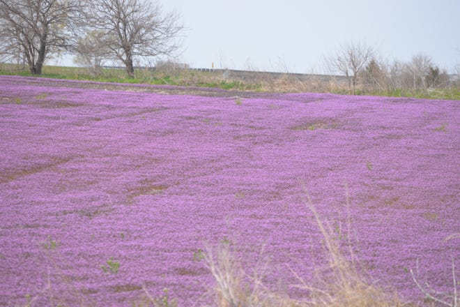 A field of henbit is shown east of Mount Pleasant on the south side of U.S. 34.