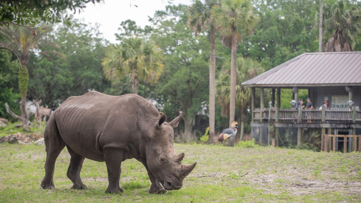 'Enthusiastic' southern white rhino arrives at Jacksonville Zoo for breeding, species listed as threatened