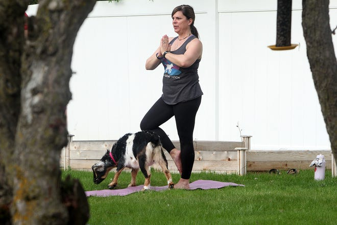 Jen Montgomery of Galena strikes a pose next to a goat during a session of goat yoga on Tuesday at VOICES in Freeport.