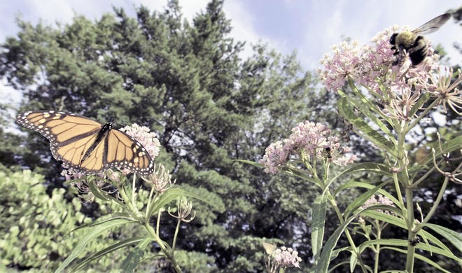 A Monarch Butterfly feeds nectar from swamp milkweed flower during a summer month.