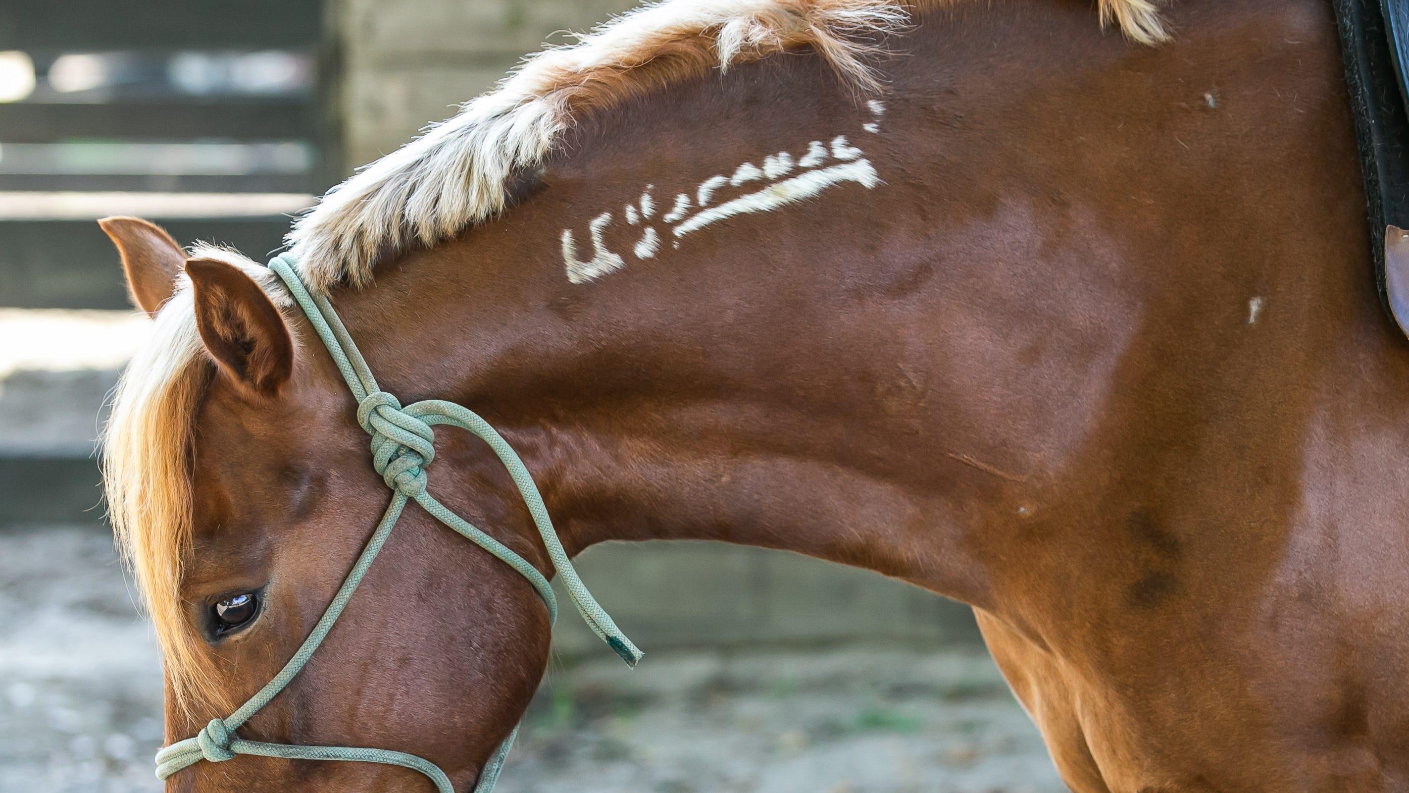 Buck, un Mustang de cinq ans, est attaché à un poteau alors qu'il est couvert le mercredi matin 28 avril 2021, tout en arborant sa marque congelée sur le côté gauche de son cou.  Tous les Mustangs du Bureau of Land Management reçoivent ces tatouages.
