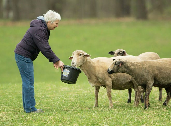 Jennie Hanus of Double JH Farm feeds Romeldale/California variegated mutant sheep Thursday, April 29, 2021 in Oceola Township she and her husband raise for the wool products they sell at the Howell Farmers Market.