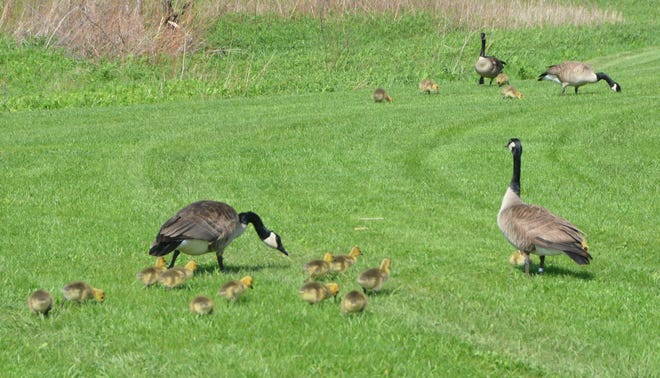 A plethora of baby geese were pictured at Lakeland Park Thursday.