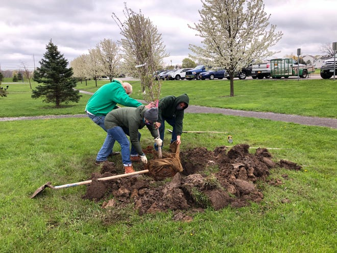 And in she goes. A stellar pink dogwood is planted on a blustery Friday at Outhouse Park in Canandaigua in recognition of Arbor Day.