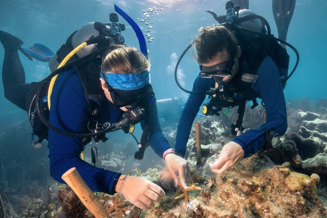 Two divers work together to replant staghorn coral to a reef with marine epoxy, frequently used for adhering nursery-grown corals to reefs. The restoration of Carysfort Reef is being undertaken with support from Ocean Reef Club and Ocean Reef Conservation Association.