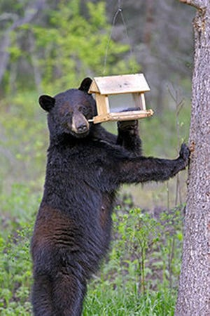 Michigan black bears will take advantage of an easy meal, like seeds from backyard wild bird feeders and household garbage.