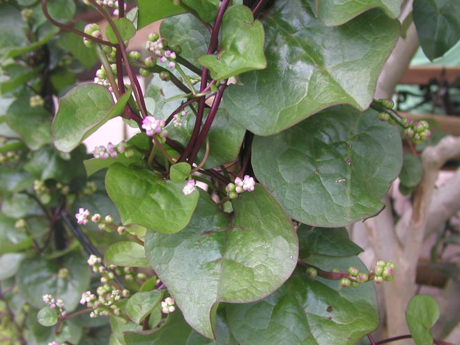 Plant Malabar spinach now for delicious home-grown greens.