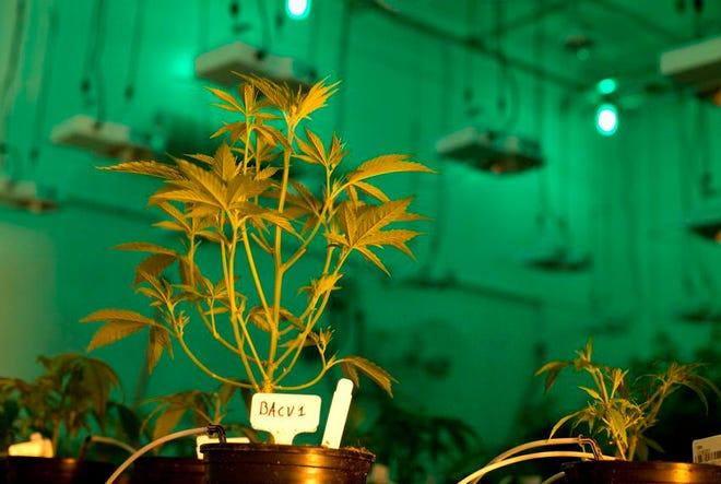 Medicinal marijuana plants at Compassionate Cultivation in Texas.