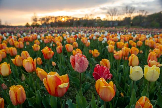 Ladang tulip di taman Windmill Island Gardens, di Belanda, 29 April 2021.