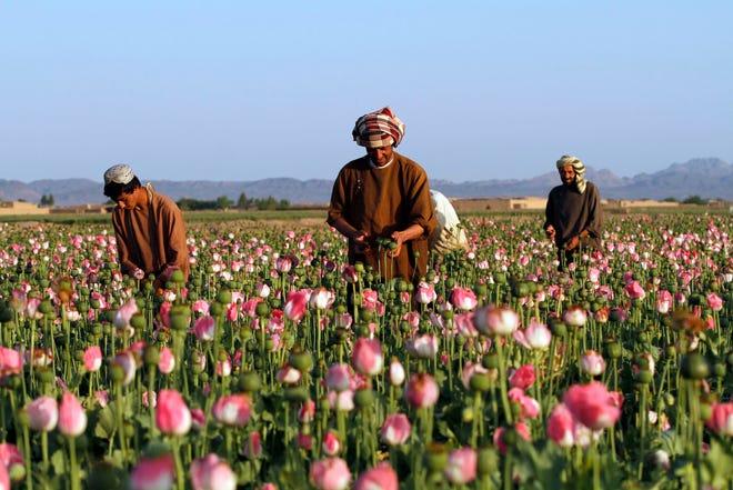 Dalam file foto 11 April 2016 ini, para petani memanen opium mentah di ladang opium di distrik Zhari, provinsi Kandahar, Afghanistan.