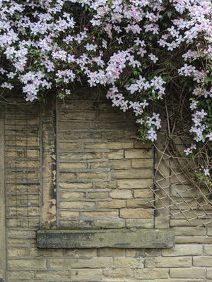 Clematis adds color to bland walls and fences in the landscape.