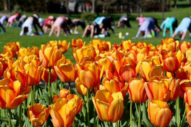 About 50 yogis enjoyed a beautiful day for Tulip Time's Yoga in the Tulips Sunday, May 2, at Window on the Waterfront.