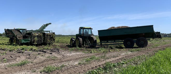 Some farms around Hastings have started harvesting their potatoes.
