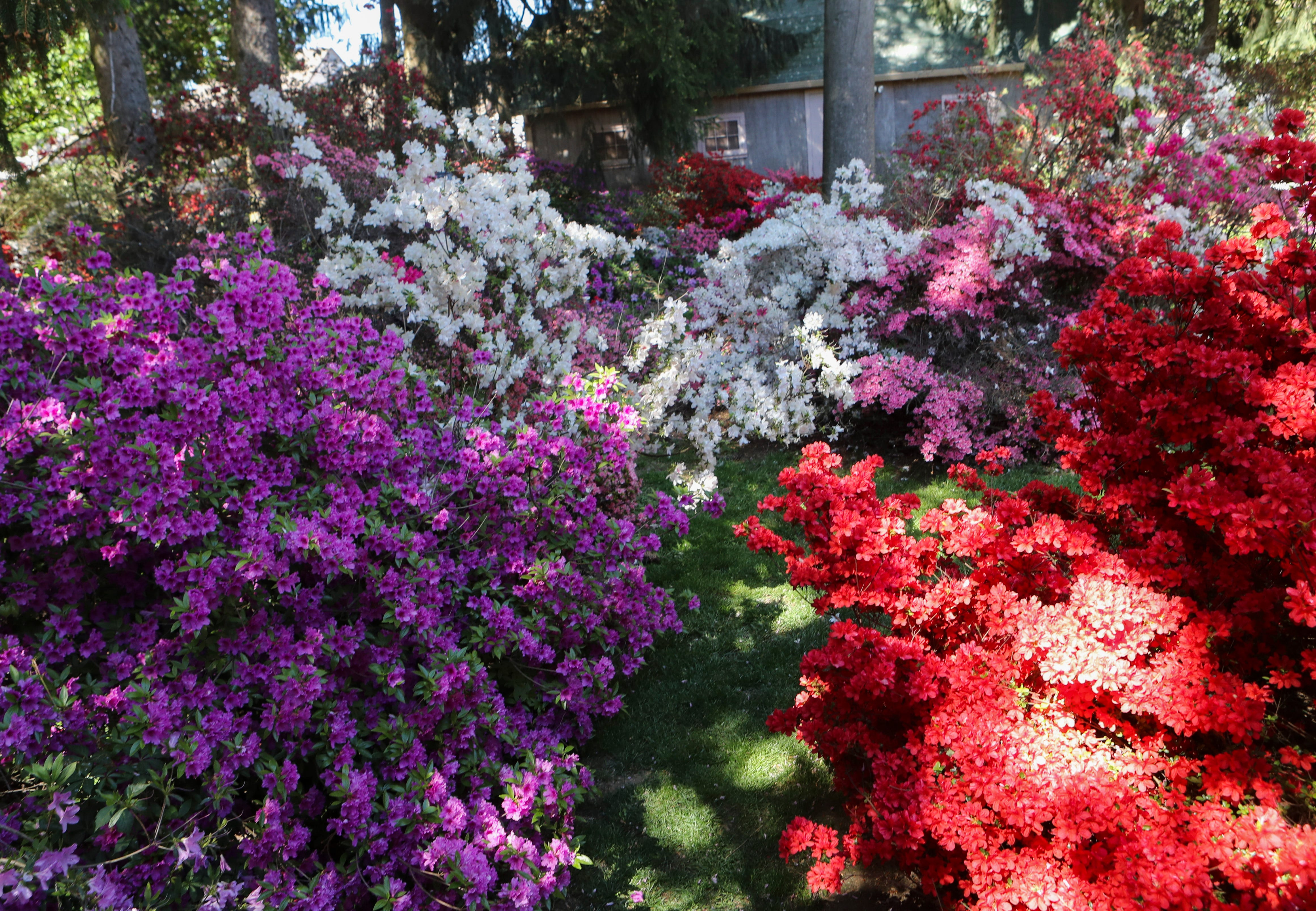 Odessa in the Spring: 1700 azaleas and countless admirers