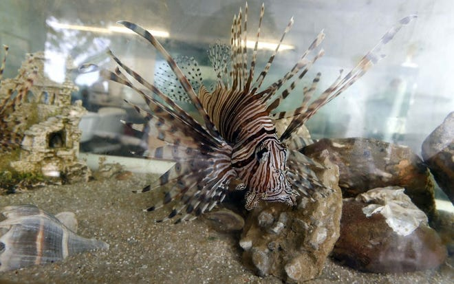 The seventh annual Lionfish Removal and Awareness Festival is May 15-16 from 10 a.m. to 5 p.m. at AJ's Seafood and Oyster Bar and HarborWalk Village in Destin.