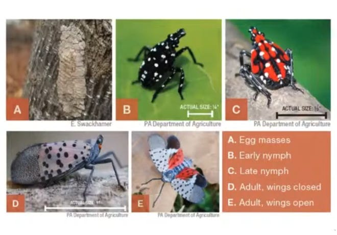 This illustration shows the life stages of the Spotted Lanternfly. / Penn State Extension