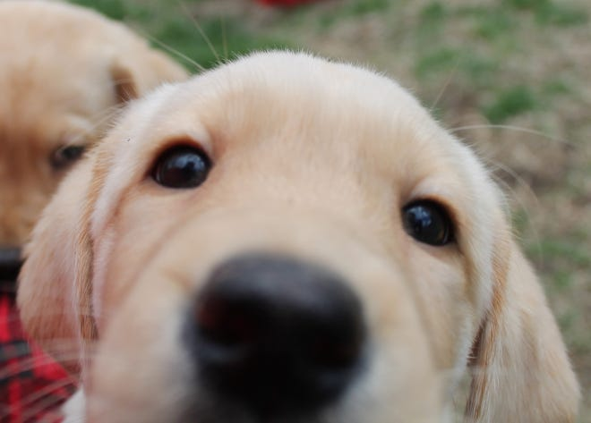 Looking for his closeup, one of the puppies introduced at a NEADS event had to get up close and personal to inspect the camera.