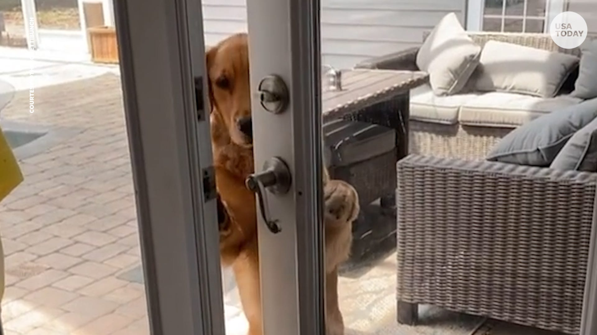 Golden retriever surprises owner by opening the door and going inside